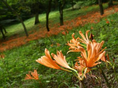 「みかも山公園」のキツネノカミソリ_2020_満開です。見頃です。(栃木県・栃木市)