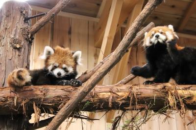 車デビューの伊豆のレッサーパンダ遠征(4)伊豆シャボテン動物公園(1)レッサーパンダ4頭とアカハナグマの三つ子の赤ちゃんにメロメロ