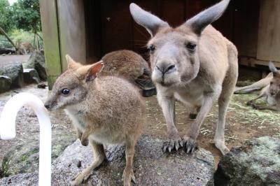 車デビューの伊豆のレッサーパンダ遠征(5)伊豆シャボテン動物公園(2)エサをねだるひとなつっこい子たちにメロメロ