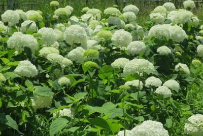 2020初夏、庄内緑地公園と鶴舞公園(3):6月17日(3):庄内緑地公園(3):紫陽花、アナベル、花菖蒲園