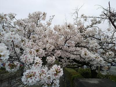 京都の桜を求めて2020---ANAクラウンプラザ京都