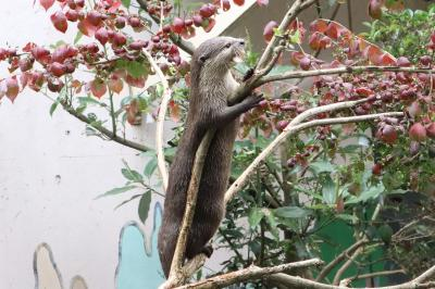 智光山公園こども動物園に梅雨明け前の7月末に~コツメカワウソ8頭のむしゃむしゃタイム&今年最後の求愛クジャク&エミューの赤ちゃん名前はぱん