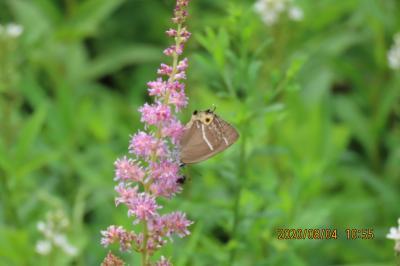 久しぶりに箱根旅行をしました⑦湿生花園その(3)植生復元区の植物と蝶