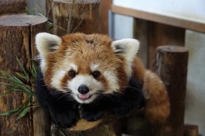 茶臼山動物園 ミルクちゃん、お久しぶり・・・今年も行けた茶臼山ナイトズー + 東山動植物園の建設中新レサパン舎偵察