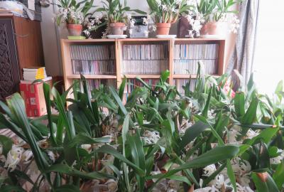 2020春~夏、家で咲いた洋蘭(1):セロジネ、デンドロビウム・キンギアナム、ベリー、マキシラリア