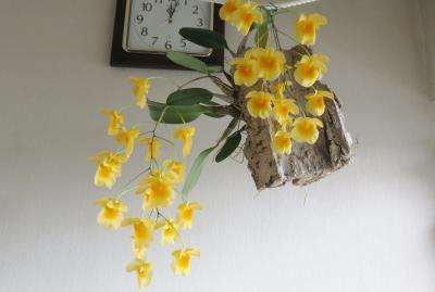 2020春~夏、家で咲いた洋蘭(2:完):デンドロビウム、パフィオペディルム、ファリドタ・イムブリカタ