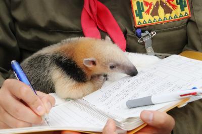 車デビューの伊豆のレッサーパンダ遠征(7)伊豆シャボテン動物公園(3)念願のコアリクイのケイくんのミルクタイムも見られた2日目
