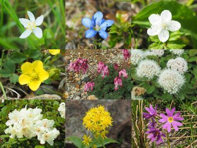 神々の遊ぶ庭へ 旭岳登山旅行 その5花を満喫!姿見の池周遊コース散策編