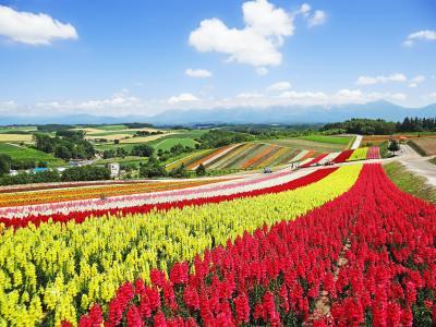花の富良野・美瑛 II 美瑛 展望花畑 四季彩の丘