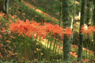 山肌をオレンジに染める大栗山のオオキツネカミソリ♪花言葉は妖艶