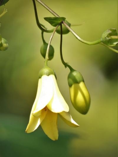 「天涯の花」キレンゲショウマが見頃の六甲高山植物園