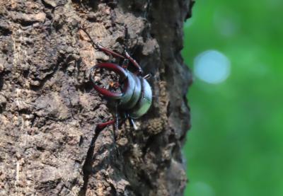 森のさんぽ道で見られたカブトムシ、クワガタその他
