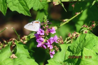 森のさんぽ道で見られた蝶(48)ツバメシジミ、ルリタテハ、キタテハ、アカボシゴマダラ、キチョウ他