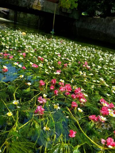 """湧水の妖精""""梅花藻""""で、涼しさと癒やしの時間,゚.:。+゚★"""