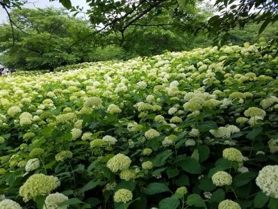 権現堂の一面に咲き誇る白い紫陽花。
