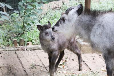 クオッカに会えなくても埼玉こども動物自然公園(前編)ニホンカモシカの赤ちゃんまじ妖精!&成長しているコアラやキリンやウサギやヤギの子供たち他