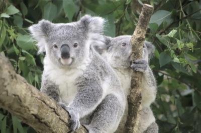 クオッカに会えなくても埼玉こども動物自然公園(後編)冷房部屋でわちゃわちゃレッサーパンダのリュウ・セイ&やっとお目覚めコアラのふくちゃん他