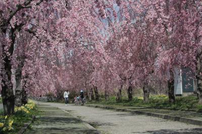 しだれ桜散歩道(日中線記念自転車歩行者道)福島県喜多方市