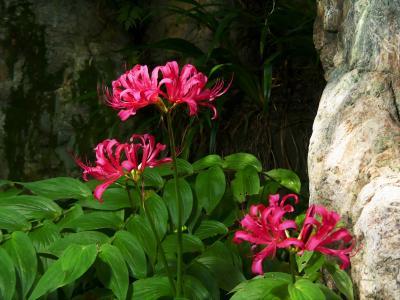 「常楽寺」の残暑の花_2020_ヒガンバナは赤が一株のみ、咲残りテッポウユリが少し(群馬県・太田市)