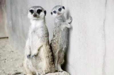 猛暑の夏にさくっと智光山公園こども動物園~ミーアキャットの赤ちゃんデビュー!~コツメカワウソのアキ・パパと息子たちはいつまで同居が見られるか