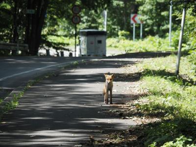 2020 夏休み_函館&道南旅2「大沼一周サイクリングで北キツネに出会う」
