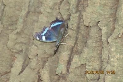 森のさんぽ道で見られた蝶(49)キアゲハ、キチョウ、ツバメシジミ、ルリタテハ、アカボシゴマダラ他