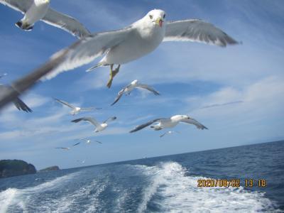 夏は海、小樽海上観光船「あおばと」でカモメと戯れ、四季 花まるで寿司だ~