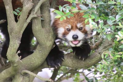 車デビューの梅雨時の東武動物公園(前編)レッサーパンダの源太くんとカリンちゃんからふれあい動物の森と「わとと」でレッサー・グッズの買い物まで