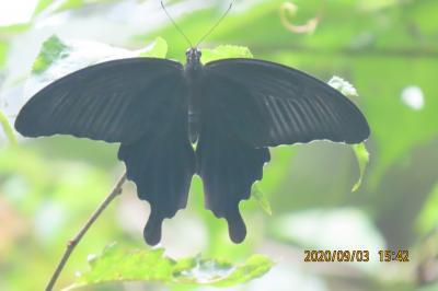 森のさんぽ道で見られた蝶(50)クロアゲハ、キアゲハ、クロコノマチョウ、ヒカゲチョウ、キチョウ他