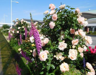 2020年5月 山口県・宇部市 山口宇部空港にバラを見に行きました。1回目