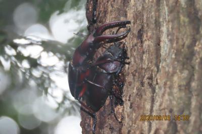 森のさんぽ道で見られたノコギリクワガタ その3