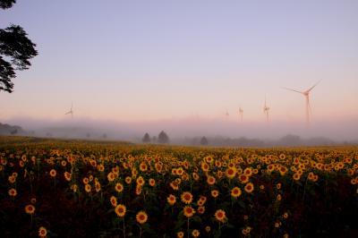 ◆朝霧の郡山布引風の高原~ひまわり畑
