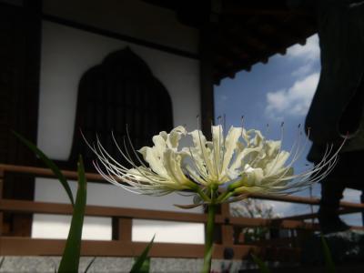 「常楽寺」の残暑の花_2020(2)_白いヒガンバナは見頃過ぎ、赤は数輪(群馬県・太田市)