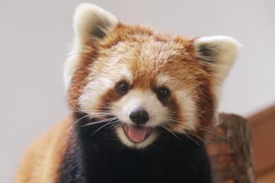 車デビュー!夏の長野・茶臼山動物園(2)ミッション1と2:レッサーパンダの新婚カップルとヤマアラシの赤ちゃん&埼玉生まれカモシカのモモちゃん