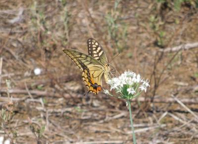 所沢市南永井付近を散策・・ニラの花に集まる蝶