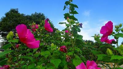 台風一過の笹原公園に咲く花 その5完。