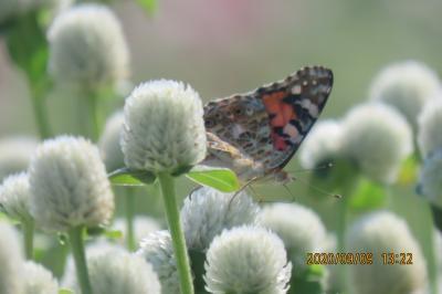 森のさんぽ道で見られた蝶(51)ヒメアカタテハ、ルリタテハ、ナミアゲハ、ツバメシジミ、キチョウ他