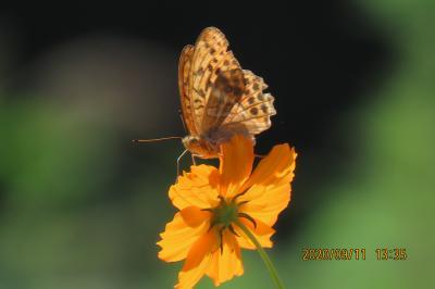 森のさんぽ道で見られた蝶(52)ミドリヒョウモン、ツマグロヒョウモン、ルリタテハ、ヒカゲチョウ他