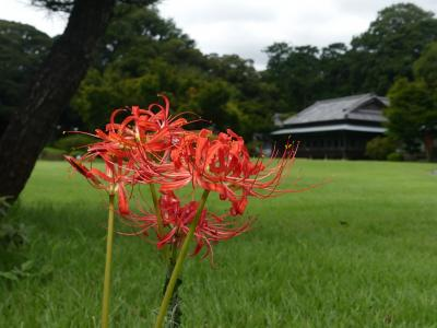 「つつじが岡第二公園」のヒガンバナ_2020_咲き始めました。十月桜も咲いてます(群馬県・館林市)
