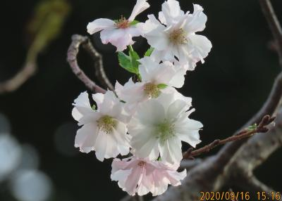 早くも冬桜を見ました!