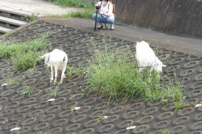 戸塚のヤギたちも斜面がお好き-パート2