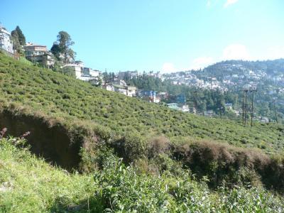 ダージリンひとり旅(2)極上紅茶の紅茶園見学