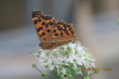 森のさんぽ道で見られた蝶(53)キタテハ、ツマグロヒョウモン、ツバメシジミ、ヒカゲチョウ、アカボシゴマダラ他
