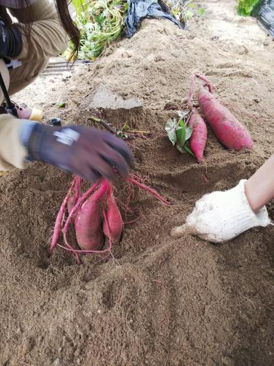 いちぢく懐石と里芋収穫体験