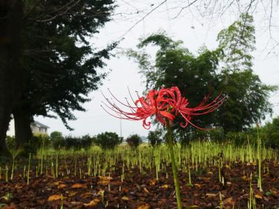 「恩林寺」のヒガンバナ_2020_お彼岸なのに、まだ咲きません。(群馬県・邑楽町)