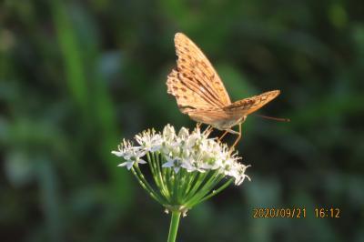 森のさんぽ道で見られた蝶(54)ミドリヒョウモン、ルリタテハ、イチモンジチョウ、ツバメシジミ他