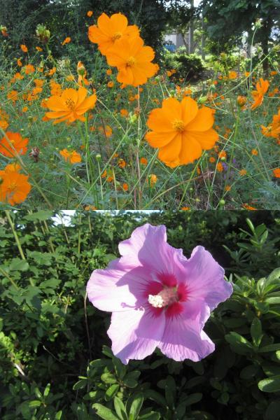 早朝ウォーキング 小手指の秋の草花 +ライム Autumn flowers in Kotesashi