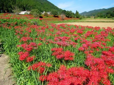 2019年10月那須町「蓑沢彼岸花公園」少し見ごろを過ぎた彼岸花を見てきました。