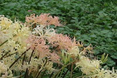 彼岸花を見に京都府立植物園へ