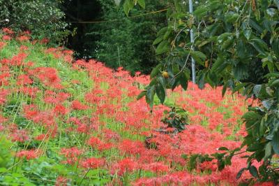 京都大原の彼岸花